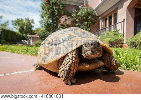 Turtle In Backyard. Turtle Walking In The Garden