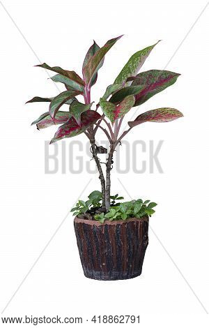 Caladium Tree Two Branches On Brown Cement Pot. With Small Grass That Grows In A Pot.