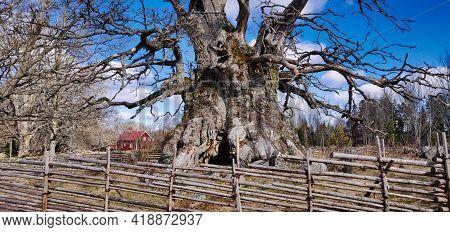 Rumskulla Oak Or Kville Oak, Leafless, Oldest Tree Of Sweden