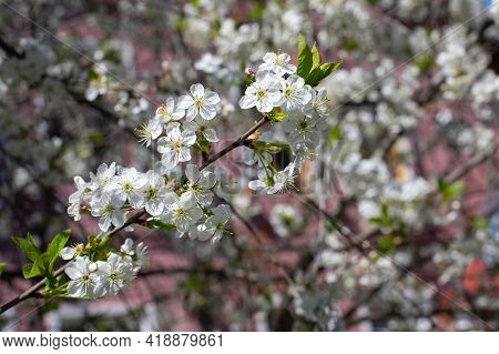 Branch Of Cherry Blossom On A Pink Background In Nature. Delicate White Cherry Blossom Blooming In E