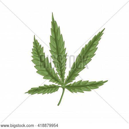 Leaf Of Cannabis Plant. Leaves Of Marijuana Or Hemp. Vintage Botanical Art. Medical Or Industrial He