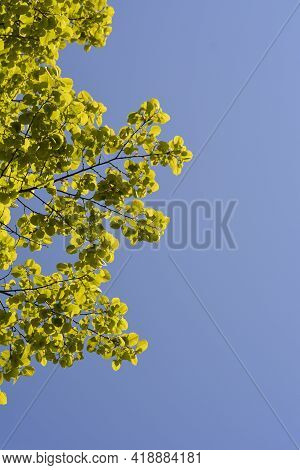 Broad-leaved Lime Branch With Leaves Against Blue Sky - Latin Name - Tilia Platyphyllos