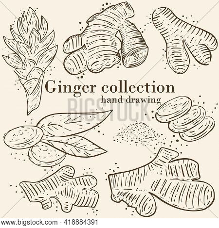 Set Of Sketches Of Ginger. Hot . Ginger Flower, Root And Powder. Vector, Different Images Of The Roo