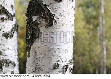 Young Birch With Black And White Birch Bark In Summer In Birch Grove Against Background Of Other Bir