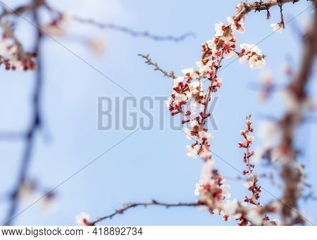 Cherry Buds With Stamens In Beginning Of Spring In Gentle Blue Light Colors