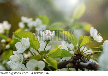 Cherry Buds With Stamens In Beginning Of Spring In Gentle Blue Colors