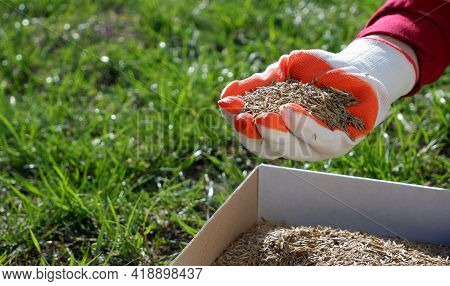 Sowing The Lawn In The Spring. A Female Hand In A Glove Holds The Seeds Of Lawn Grass Over A Cardboa