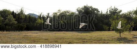 The Flight Of Pigeons Over The Field Against The Backdrop Of Nature In The Summer.