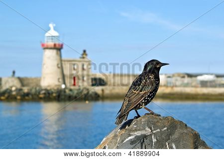 Bird at the  harbor of Dublin Howth