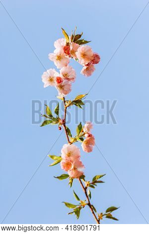 Amazing Pink Cherry Blossoms On The Sakura Tree In A Blue Sky. Branch Of A Beautiful Spring Tree. Se
