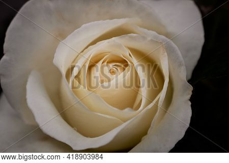 Close-up Of A White Rose In Full Bloom On Dark Background. Macro Photography Of Flower With Selectiv