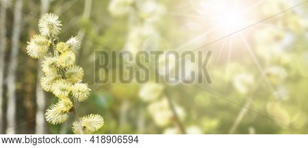 Willow Branches With Blossoming Buds. Spring Background. Pollen On Stamens, Allergen.