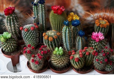 Colorful Cactus Flowers In The Pot. Cactus Or Succulents With Colorful Flowers As Home Decoration