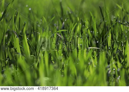 Fresh Green Grass With Dew Drops On Spring Morning, Closeup.