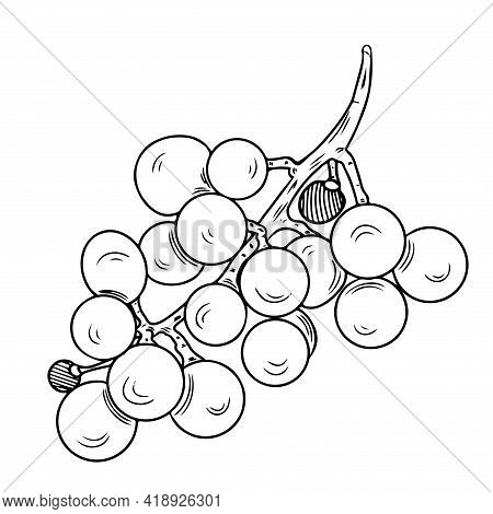 Grape Branch Coloring Book Or Page Vector Isolated