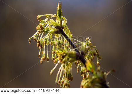 Inflorescences Of Ash-leaved Maple - Box Elder, Boxelder Maple, Manitoba Maple, Acer Negundo - Invas