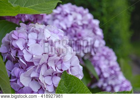 Blossoming Hydrangea Or Hortensia Flowers With Gentle Franrance And Fragile Fresh Pink And Violet Pe
