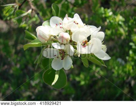 Pollination Of Flowers By Bees Pears. White Pear Flowers Is A Source Of Nectar For Bees