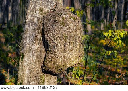 Tree Trunk With Growth. Suvel On A Hornbeam Trunk
