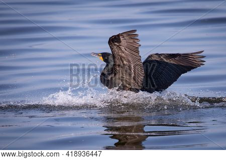 Double Crested Cormorant On Reelfoot Lake In Tennessee During The Summer
