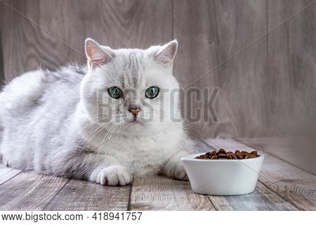 A White British Cat And Bowl Of Food. Silver Chinchilla Cat Looks At Food In A Bowl. Balanced Dry Fo