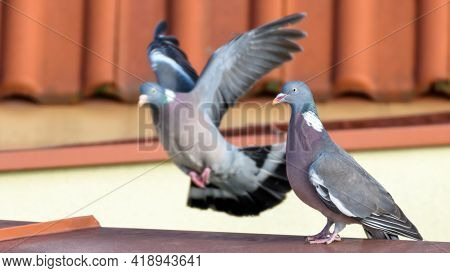 Pair Of Common Wood Pigeons (columba Palumbus) Sitting On The House Roof In Urban Scenery. Birds Spr