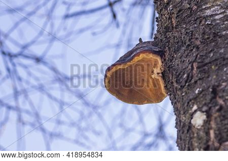 Natural Light. The Chaga Mushroom Formed On The Tree. Cherry. Spring Foliage On The Tree Is Absent