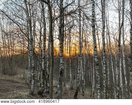 Sunset In Birch Grove With Sunrays Cutting Through Bare Trees In Spring