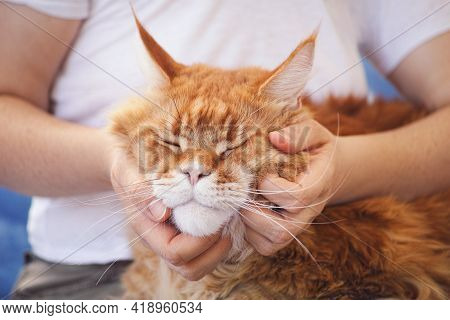 A Person Scratching A Maine Coon Cat's Cheeks. Close Up.