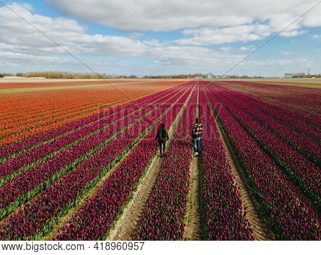 Aerial View Of Bulb-fields In Springtime, Colorful Tulip Fields In The Netherlands Flevoland During