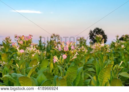 Flowering And Leafy Tobacco Plantation. Blossoms Of The Tobacco Plant With Flowers And Big Green Lea