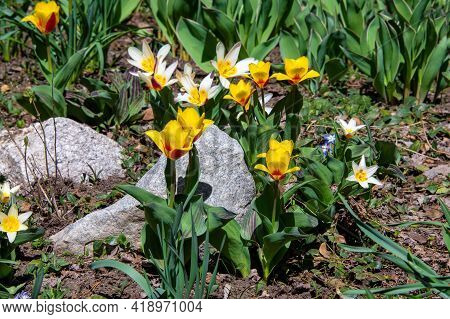 Daffodils, Tulips And Crocus In Bloom In Steamboat Springs Botanical Gardens