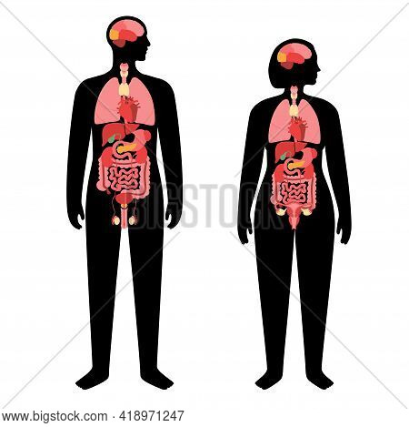 Internal Organs In A Man And Woman Body. Brain, Stomach, Heart, Kidney, Uterus And Testicles In Male