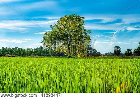 Scenic View Landscape Of Rice Field Green Grass With Field Cornfield With Solitary Yellow Flowers Ca