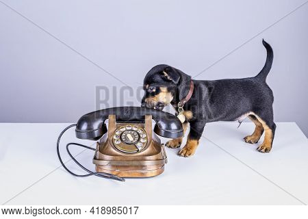 Jack Russell Puppy Dog Stands By An Old Copper And Bakelite Telephone. With Old Dial Or Retro Classi