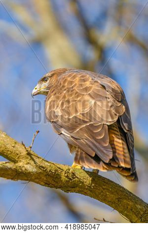Buzzard In The Forest. Sitting On A Branch Of A Deciduous Tree. Wildlife Bird Of Prey, Buteo Buteo.