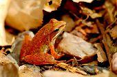 an iberian frog (rana iberica) poster