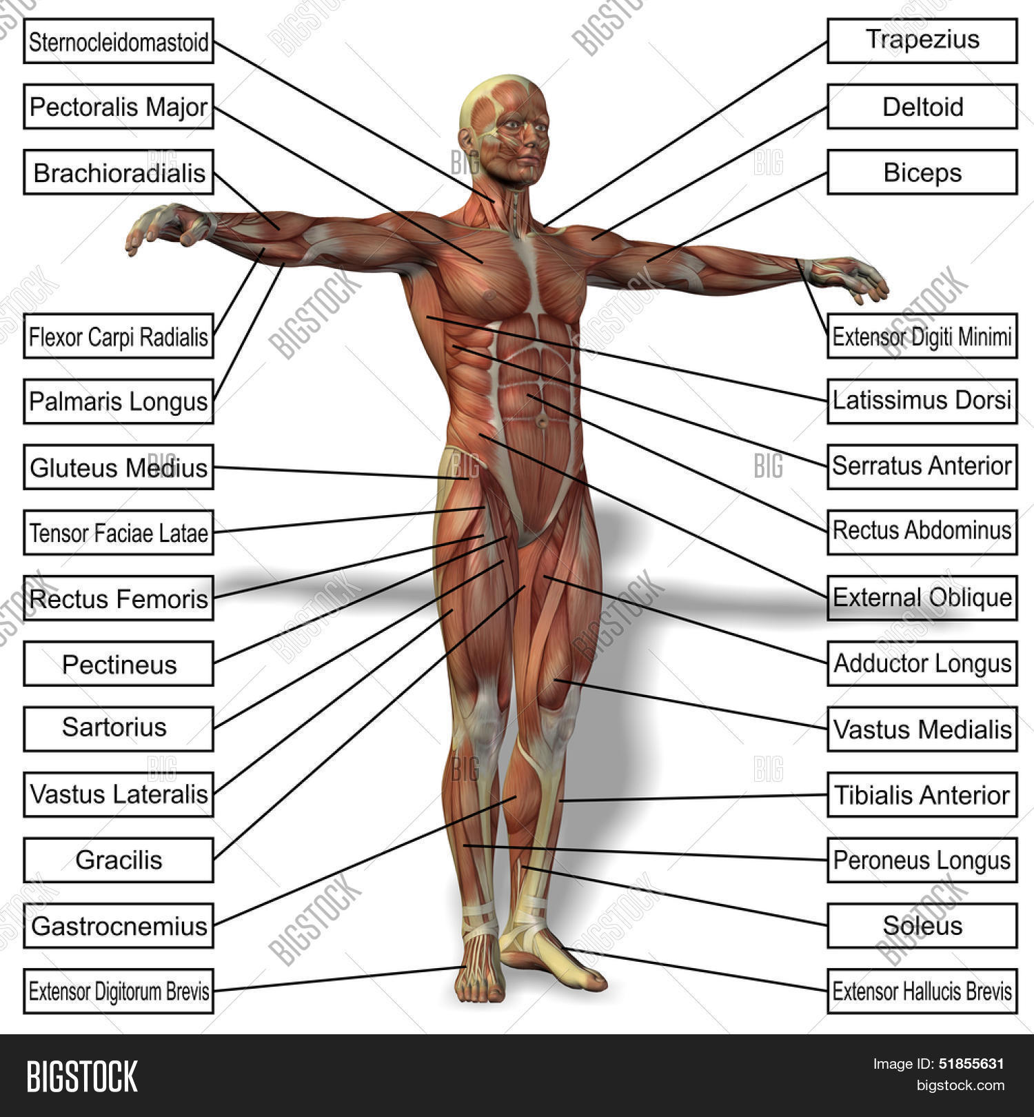3d Male Human Anatomy Image Photo Free Trial Bigstock