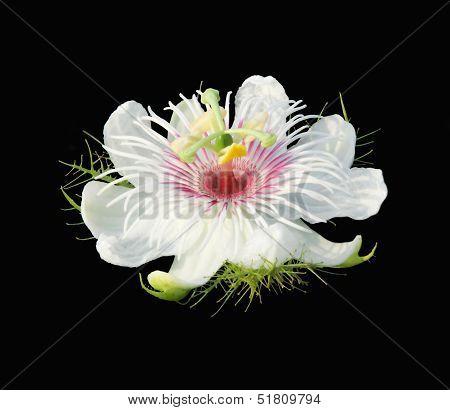Passiflora Foetida Flower