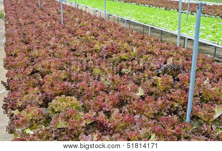 Red Leaf Lettuce Vegetable