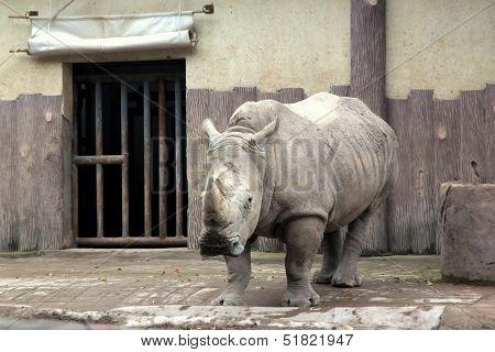 Black Rhinoceros