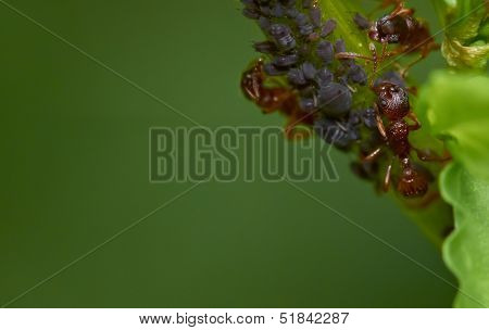 Ants Milking Greenfly