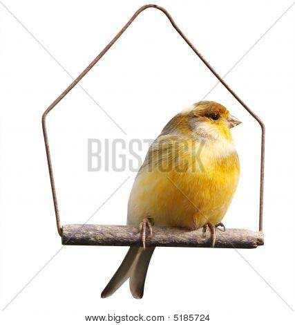 Canary (serinus Canaria) On Swing