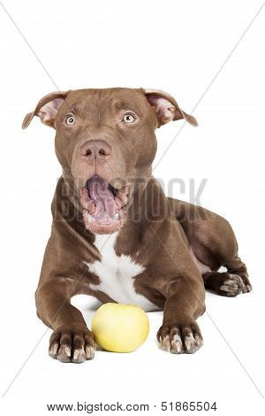 dog breed pit bull