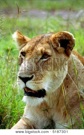 Lioness, Masaai Mara, Kenya