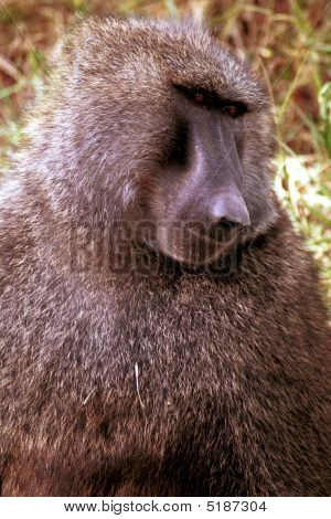 Chacma Baboon, Cape Of Good Hope, South African Republic
