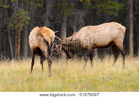 Rocky Mountain Elk Rutting