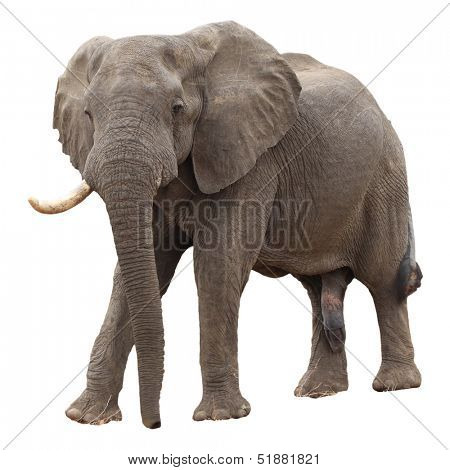 Male African Elephant isolated on white background
