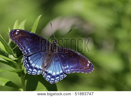 Faded Red-spotted Purple Butterfly