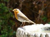 European robin sat on a bird bath on a sunny day poster